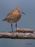 Black-tailed Godwit - molting - sp 346