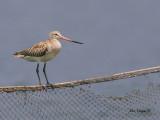 Bar-tailed Godwit - sp 347