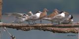 Many Waders, Many Terns, Many Gulls