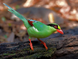 Common Green Magpie - sp 348