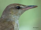 Oriental Reed-Warbler - sp 52