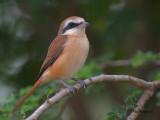 Brown Shrike - sp 72