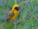 Asian Golden Weaver -- sp 70