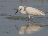 Great Egret -- sp 168