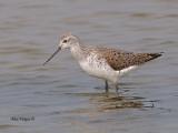 Marsh Sandpiper -- sp 187