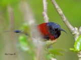 Black-throated Sunbird -- sp 357