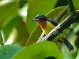 Ruby-cheeked Sunbird -- Sp 243