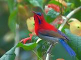 Crimson Sunbird - sp 297