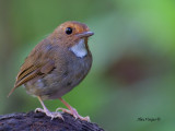 Rufous-browed Flycatcher -- sp 92