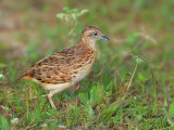 Small Buttonquail - sp 365
