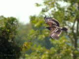 Greater Spotted Eagle - sp 366