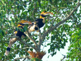 Great Hornbill - 369