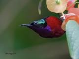 Purple-throated Sunbird -- sp 370