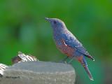 Blue Rock-Thrush - subspecies philippensis -- 2011 - 2