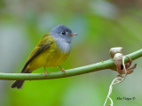 Grey-headed Canary-Flycatcher --  Sp 261