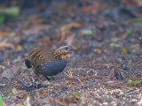 Rufous-throated Partridge - sp 373