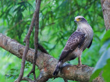 Crested Serpent Eagle -- sp 127