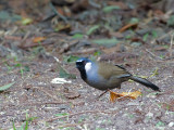 Black-throated Laughingthrush - 2012 - 3