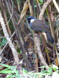 Black-throated Laughingthrush - 2012 - 2