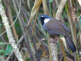 Black-throated Laughingthrush - 2012