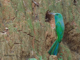 Blue-bearded Bee-eater - sp 377