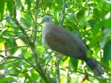 Mountain Imperial Pigeon - sp 378