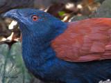 Cuckoos and Shrikes