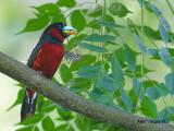 Black-and-Red Broadbill -- sp 238