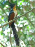 Chestnut-winged Cuckoo -- sp 379