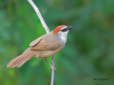 Bulbuls, Babblers and Orioles