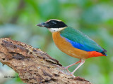 Blue-winged Pitta -- sp 3