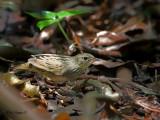 Lanceolated Warbler - sp 384