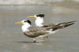 Great-crested Tern -- sp 198