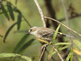 Yellow-rumped Warbler, Paradise Pond