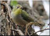 Birding in Salalah Oman
