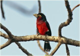 Barbet Double toothed