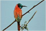 Bee Eater Norther Carmine