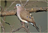 Dove Blue Spotted Wood