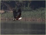 Eagle Fish