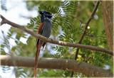 Flycatcher African Paradise