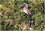 Hornbill African Grey