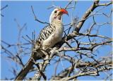 Hornbill Red Billed