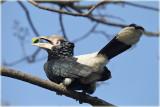 Hornbill Silvery Cheeked