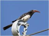 Hornbill  Crowned