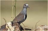 Plover Black-winged