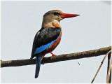 Kingfisher Grey Headed