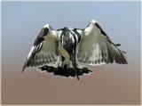 Kingfisher Pied