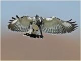 Kingfisher Pierd