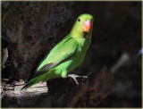 Lovebird Black Winged