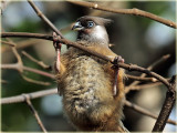 Mousebird Speckled
